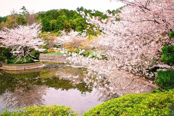 The Meaning Of Cherry Blossoms In Japan Life Death And Renewal Jazz
