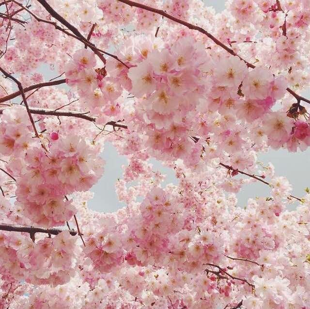 The Cinderella Project Because Every Girl Deserves A Happily Ever After Blossom Cherry Blossom Cherry Blooms