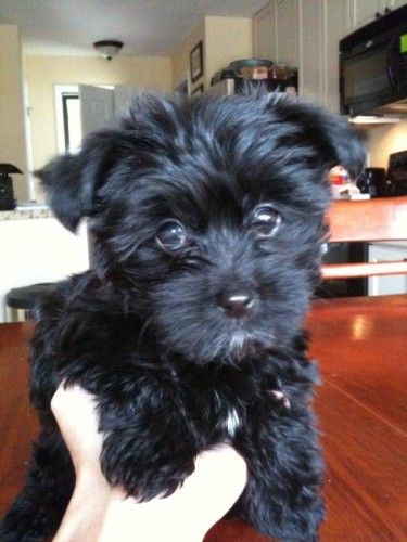 My Little Esther Scissorhands Too Cute For Words Yorkie Poo Poodle Puppy Black Puppy