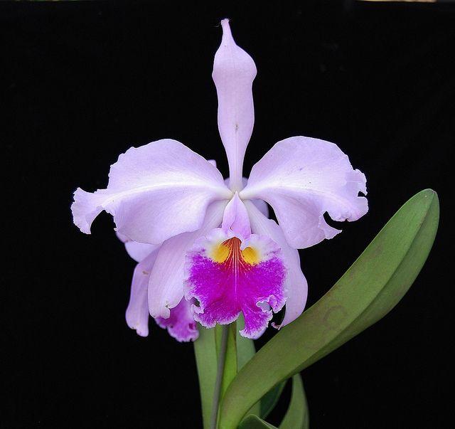 Cattleya Warscewiczii Orchideen