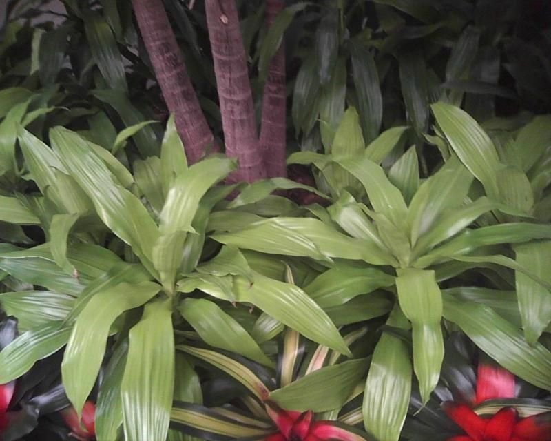 Looking at Plants - Dracaena deremensis 'Limelight'