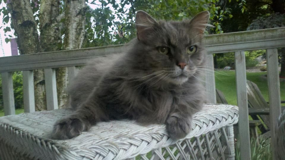 Long haired gray cat with green eyes. 14 years old Last
