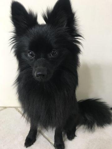 Black Pomeranian Puppy For Sale Near Me : black, pomeranian, puppy, Pomeranian, Puppy, DALLAS,, ADN-51424, PuppyFinder.com, Gender:, Female., Sale,, Puppies, Black