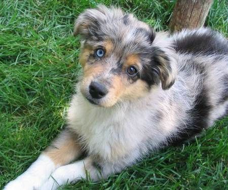 Zoe The Mini Australian Shepherd I Want One Brown Eyes Puppies Dogs Dogs M Mini Australian Shepherds Australian Shepherd Puppies Australian Shepherd Dogs