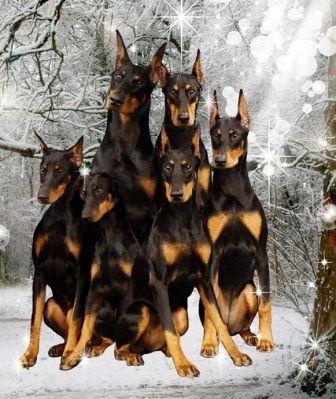 Doberman Pinscher Loyal And Fearless Doberman Pinscher Dog