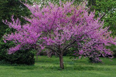 Pink flowering trees pink flowering trees flowering trees and pink flowering trees mightylinksfo