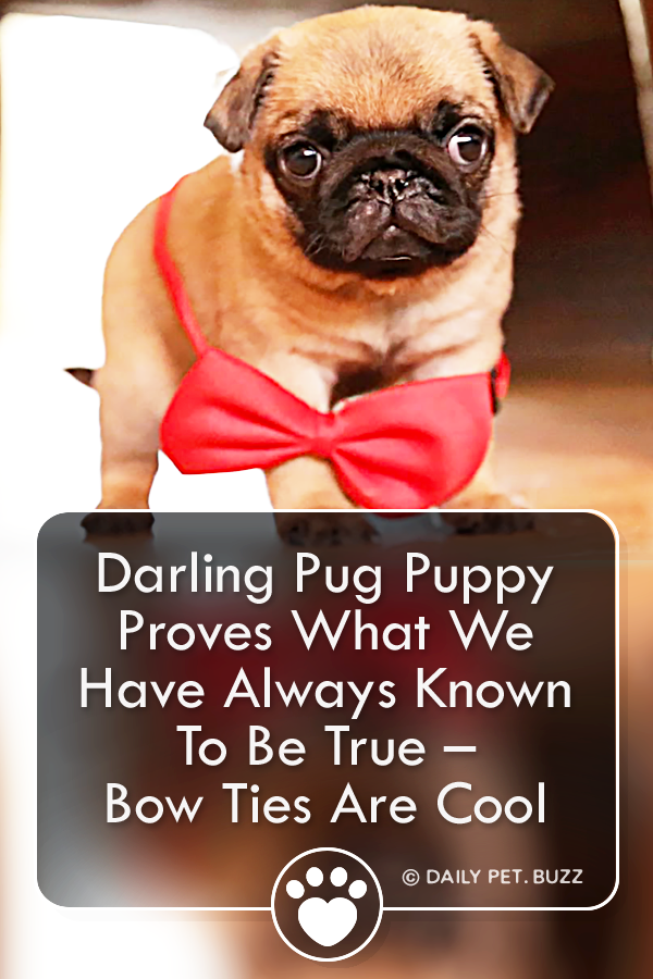 This Pug puppy adorably models a red bow tie, just in time to meet new friends. This guy is just too cute for words. #pug #puppy #puppyvideos #dog #dogvideos #pugs #puppies #dogs #pets