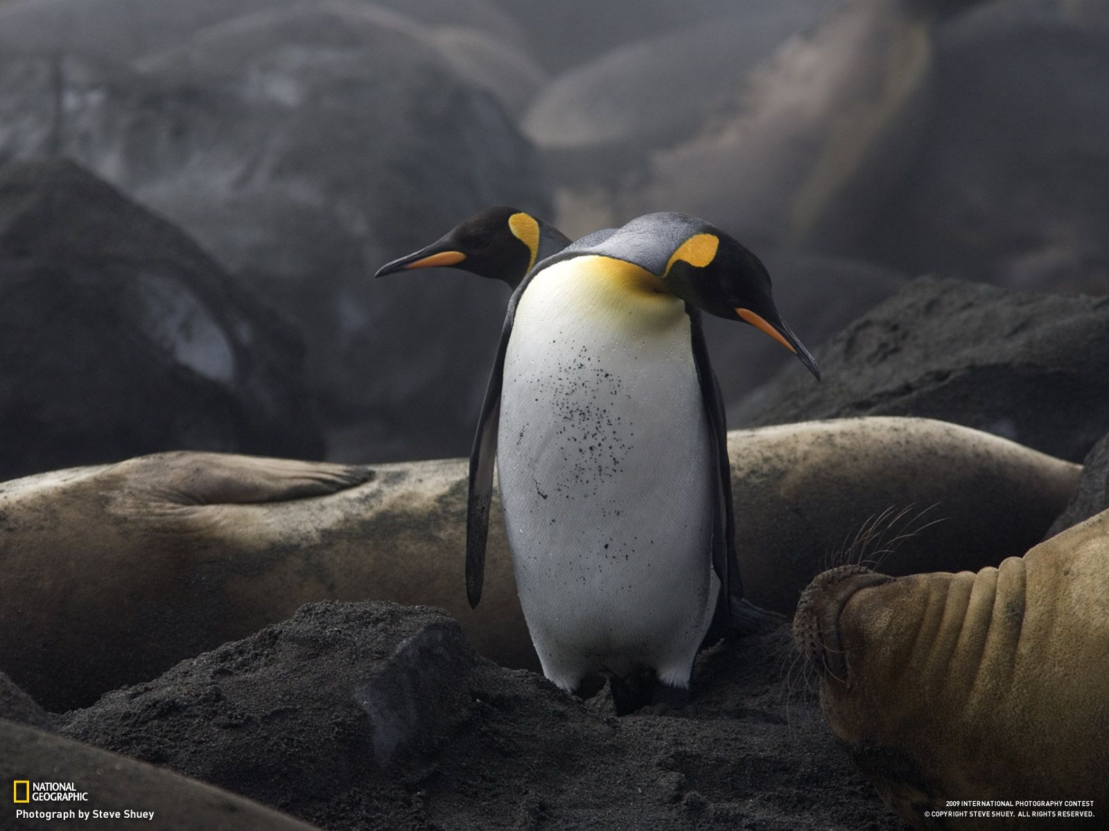 National Geographic Penguins Cute Penguins Amazing Animal Pictures