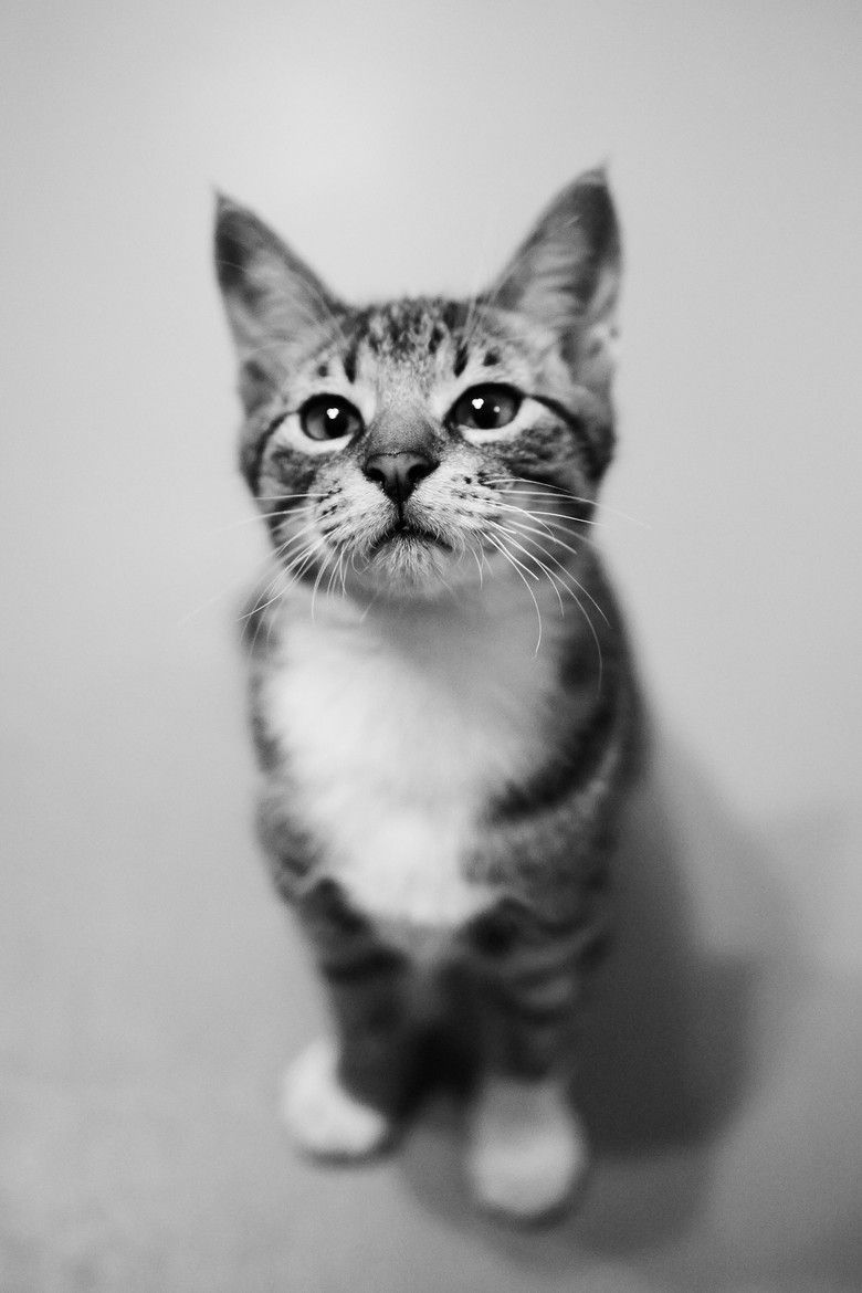 An Ordinary Kitten Will Ask More Questions Than Any 5 Year Old Carl Van Vechten Feline Cute Animals Cats