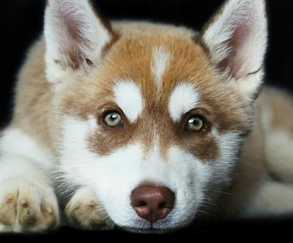 Red Siberian Husky With Beautiful Green Eyes Her Name Is Sparrow