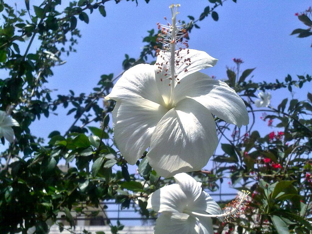 Hibiscus White At Karnal Hibiscus Wikipedia Flowers Fervor