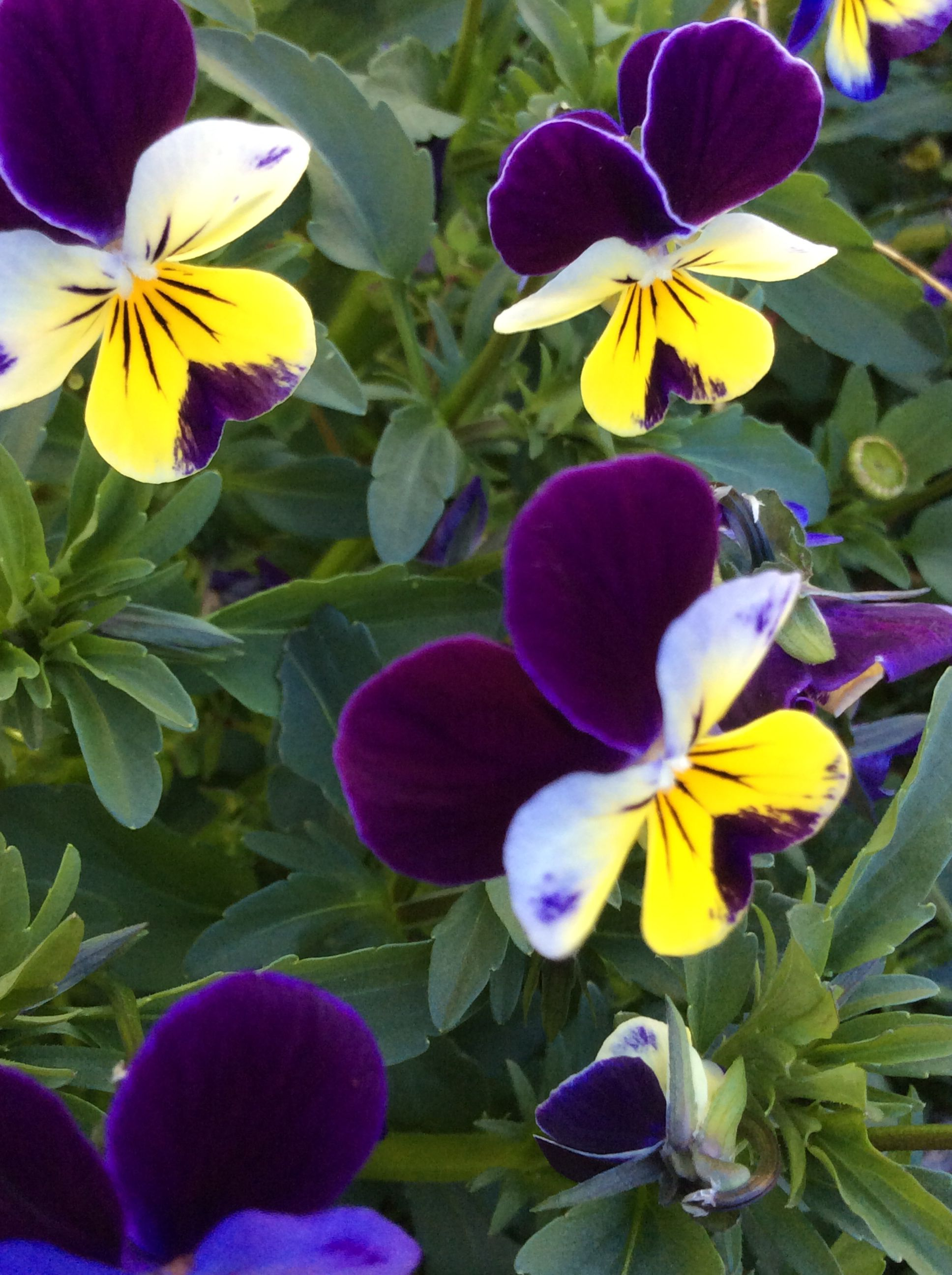 Johnny jump up with images johnny jump up flowers plants