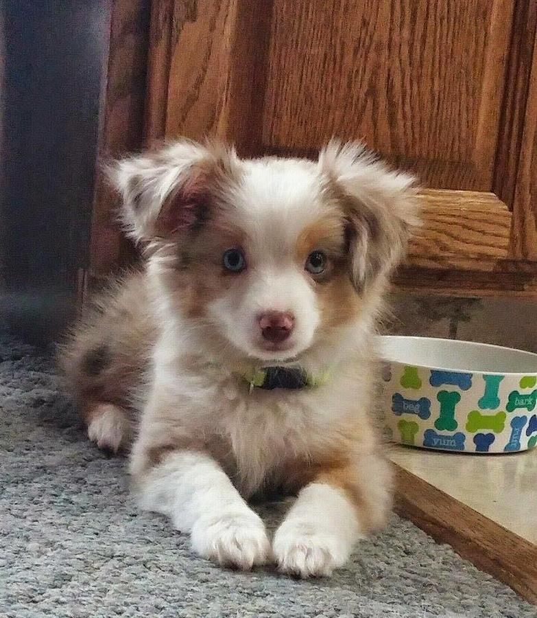 My Toy Aussie Com 231 215 8377 My Toy Aussie Com Toy Australian Shepherd Breeder In Michigan 231 215 8377 Aussie Dogs Super Cute Puppies Aussie Puppies
