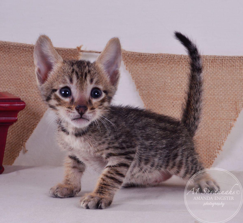 Aldo F5 Savannah Kitten Savannah Kitten Kitten Pictures Kitten