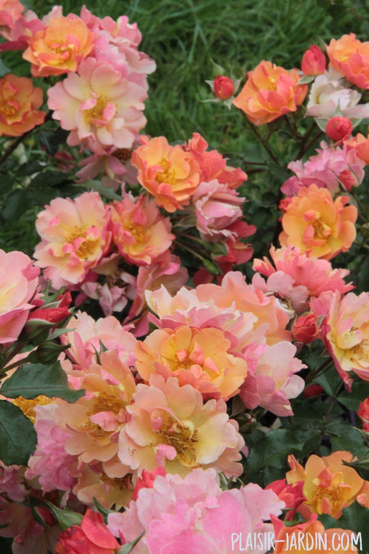 Faire Un Rosier Avec Une Rose le rosier 'java' | rosier, bouquet de fleurs, fleurs