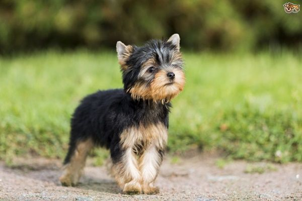 10 Popular Small Long Haired Dog Breeds Tail And Fur Yorkshire