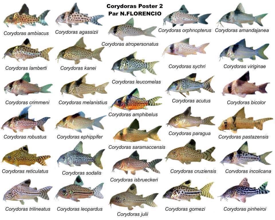 Corydoras Pet Fish Saltwater Aquarium Fish Tropical Fish Aquarium