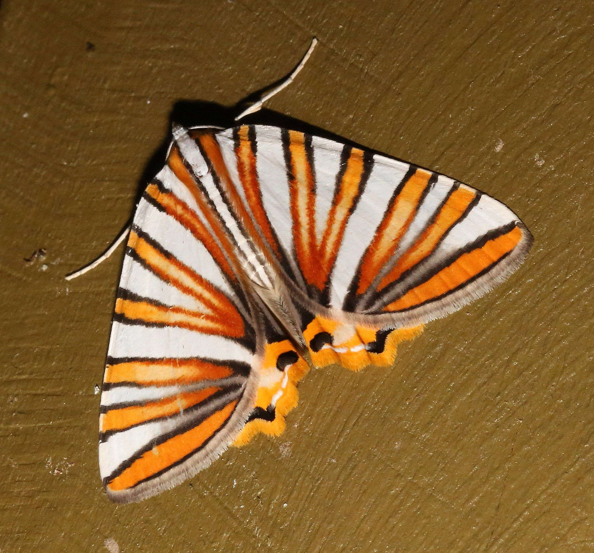 Frank DiStefano - Mothing and Moth-watching This beautiful moth ...