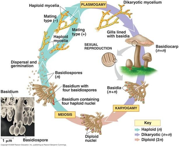 Semoneapbiofinalexamreview N Fungi 31 Fungi Teaching Biology Kingdom Fungi