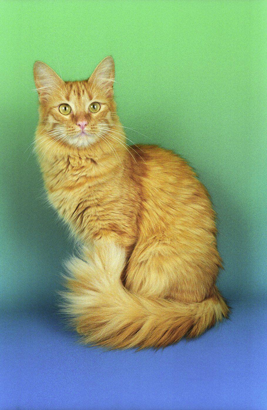 Orange Turkish Angora Cats For Sale T...