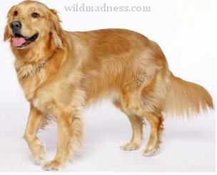 Golden Retriever Is Medium Size Dog Breed Height Of The Golden