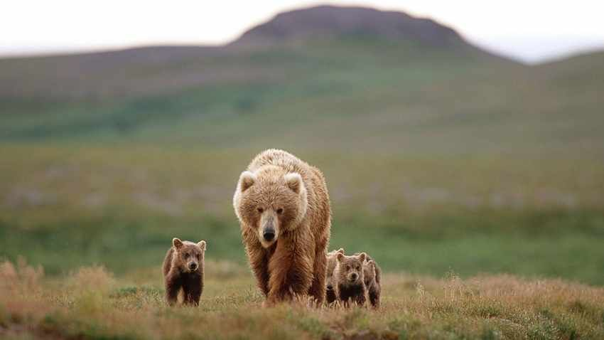 National Geographic Images Of Animals Nature And Cultures Brown Bear Animals Bear