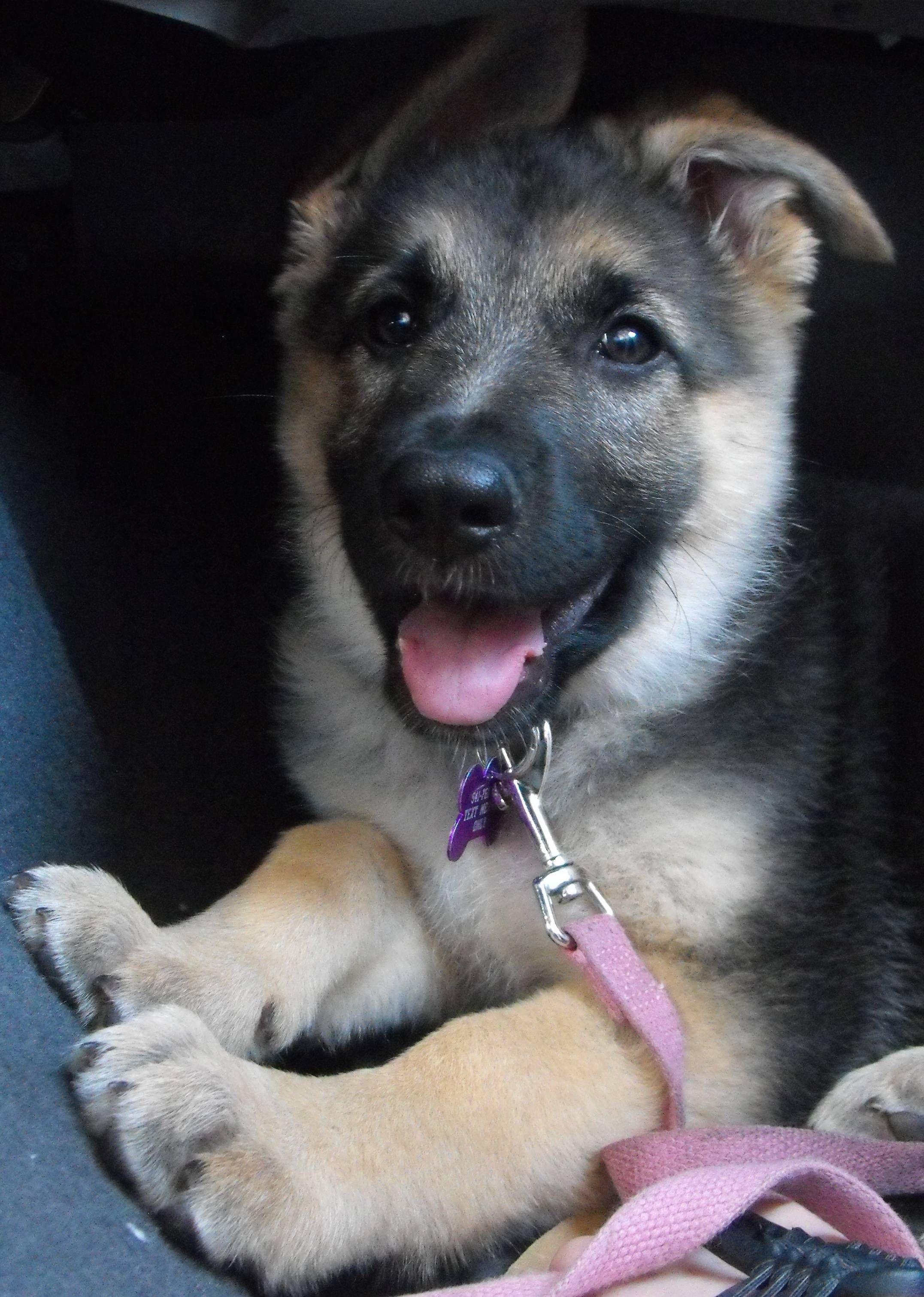 Does she pass the aww inspection? Shepherd puppies