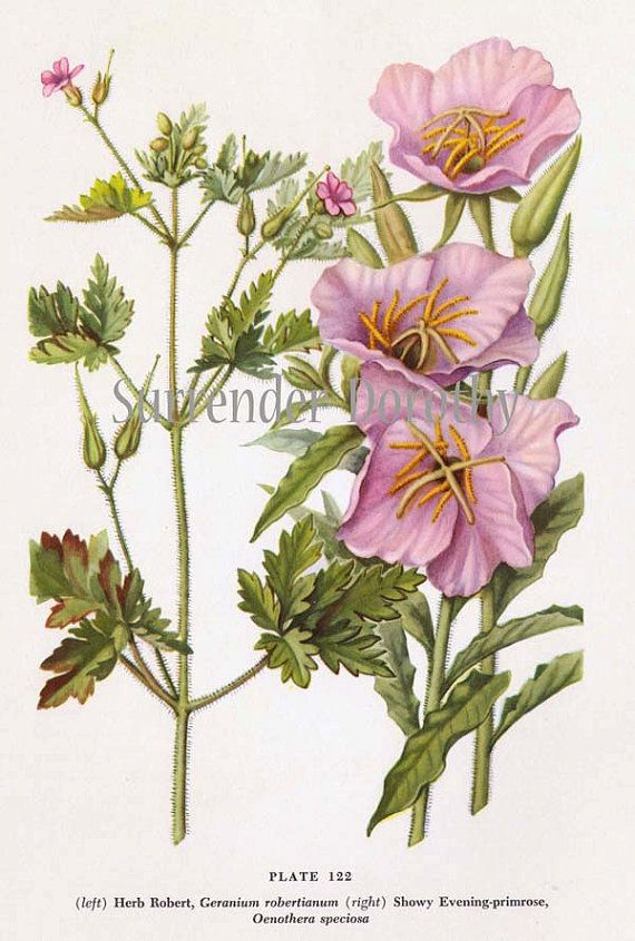 Pink Evening Primrose Flowers Vintage Botanical 1950s Lithograph