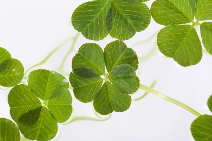 How much do you know about fourleafed clovers and they