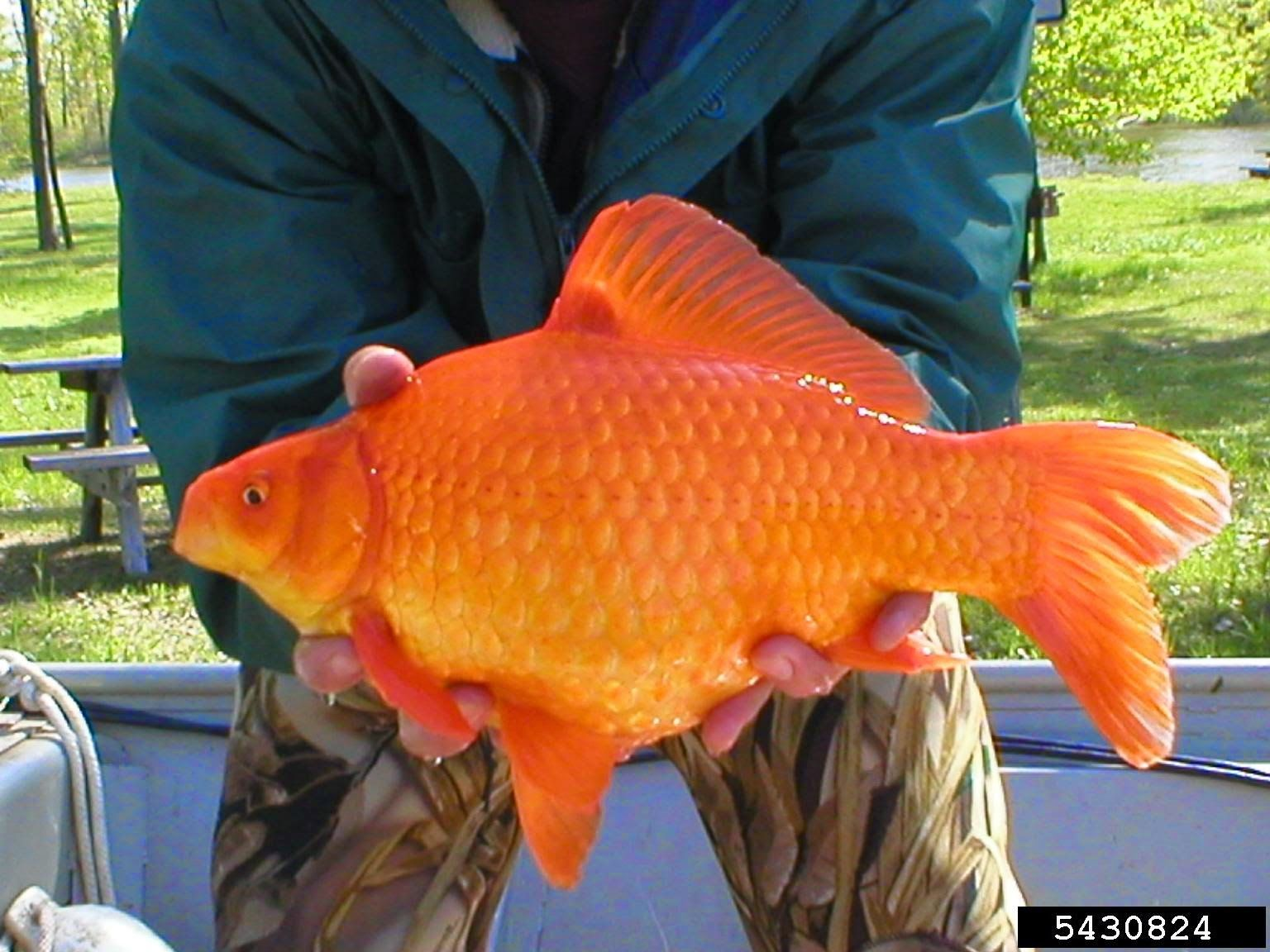 Thousands of goldfish found in colorado pond bugwood for Goldfish pond