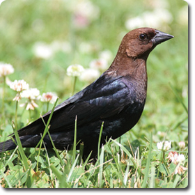 Learn About Your Backyard Birds – Backyard Wild #Bird Directory – Brown Headed Cowbird