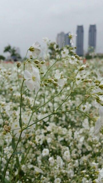 울산태화강양귀비꽃축제