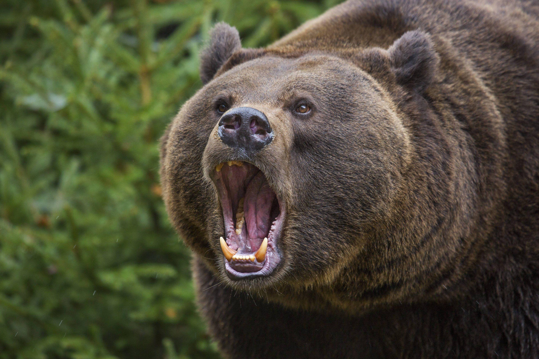 Brüllender Bär