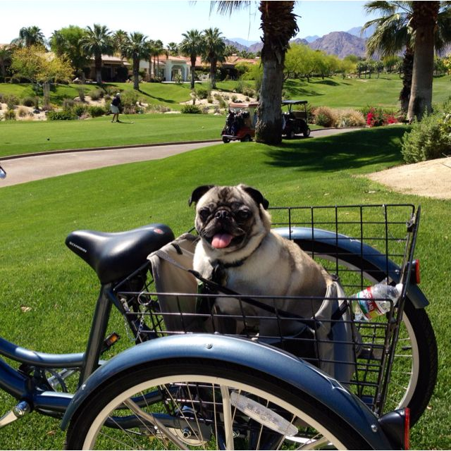 A Morning Bike Ride With Jack Pugs Pugs Bike Ride Pug Lover