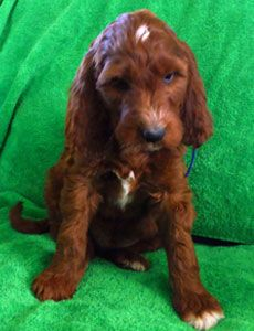 Irish Setter Poodle Mix First