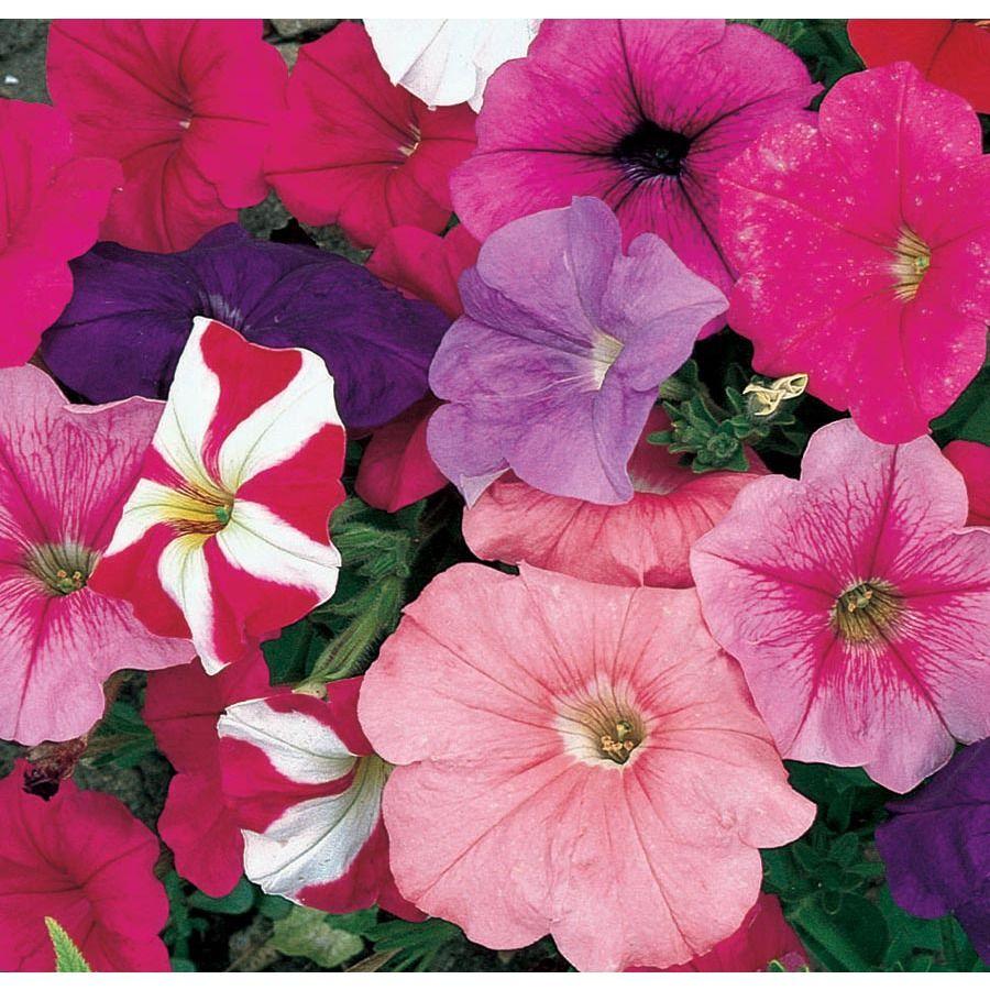 12 Pack Multicolor Petunia In Tray L17355 Nursery In 2020