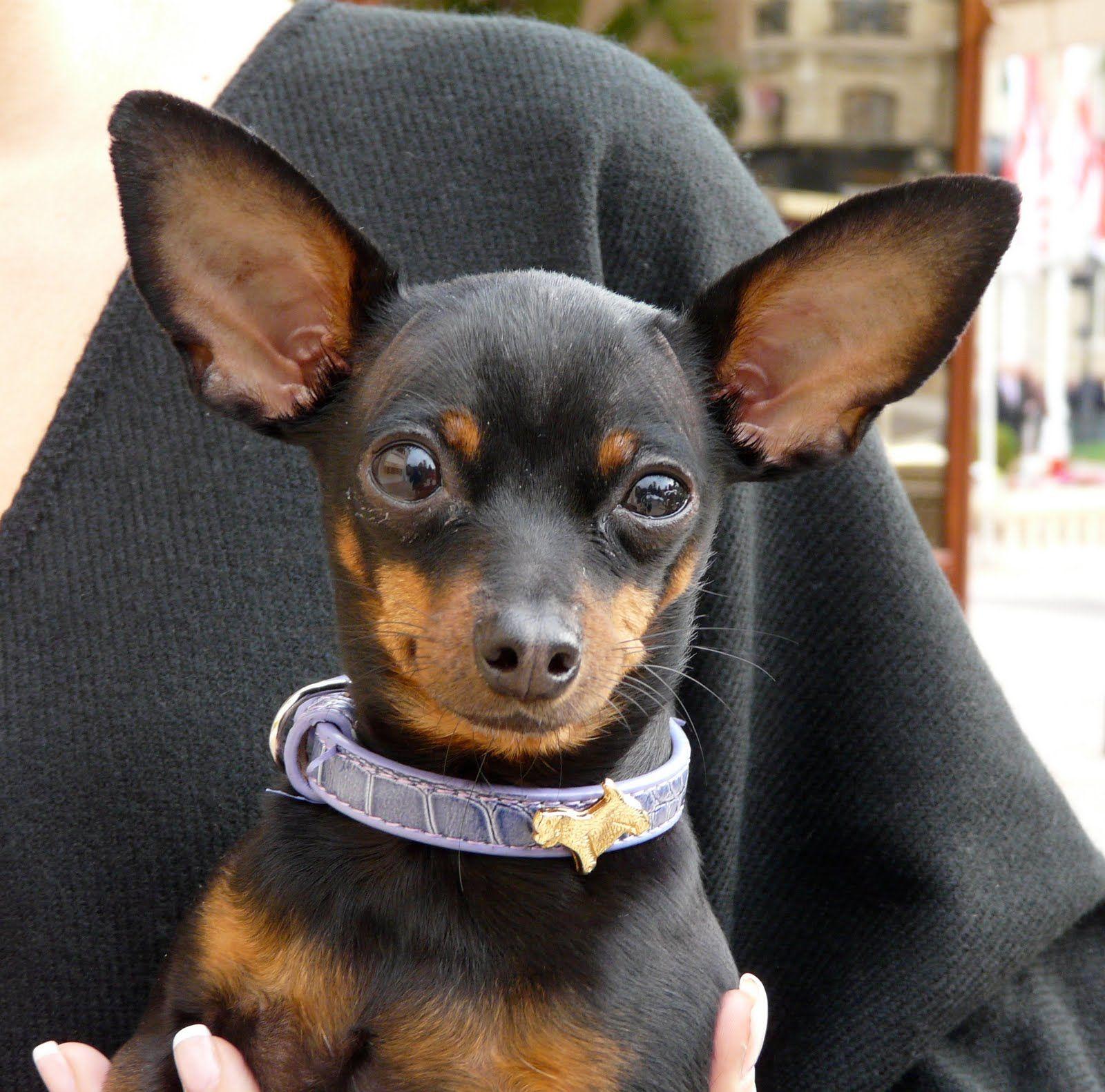 Min Pin Natural Floppy Ears D Miniature Pinscher Dog
