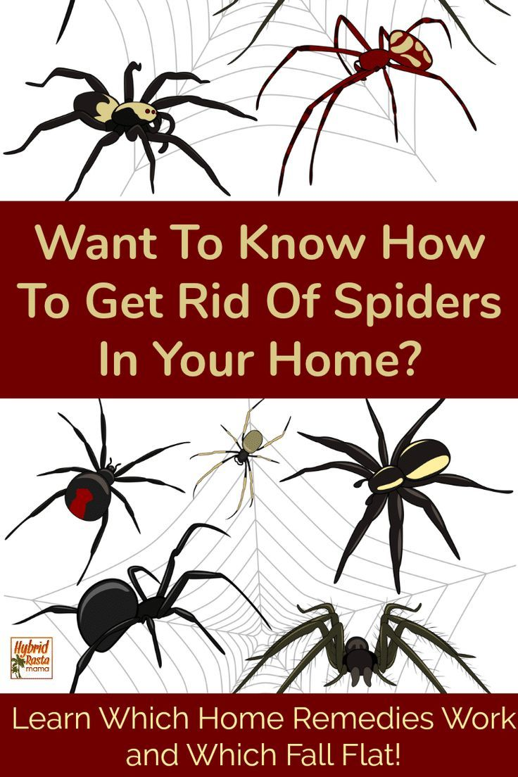 Natural Pest Control For Spiders Get Rid Of Spiders Natural Pest Control Home Remedies For Spiders