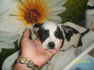 Adopt Mason On Australian Shepherd Dogs Animal Shelter Dogs