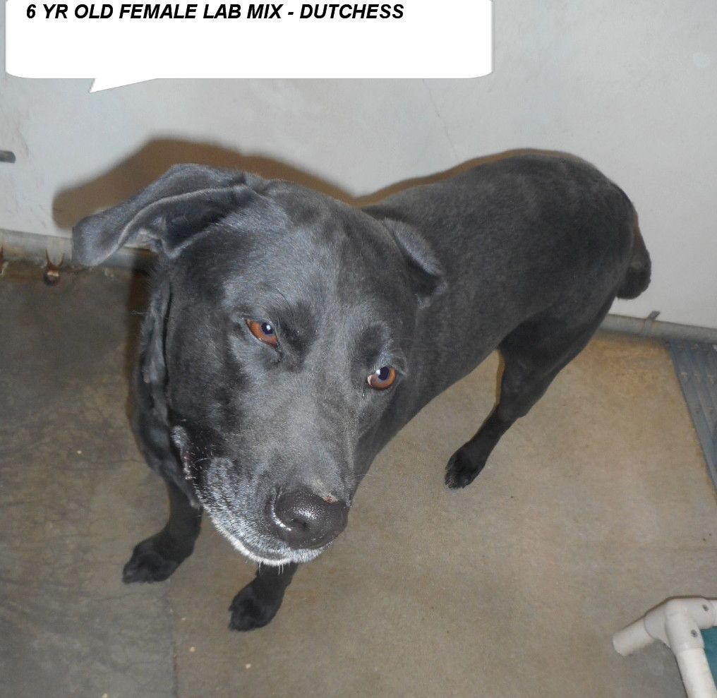Destroyed 2 20 17 Duchess Is A 6 Yr Old Black Lab Dog Who Needs To Get Out Of The Shelter And Be Someones Special Dog Labs M Black Labs Dogs Lab Dogs Dogs