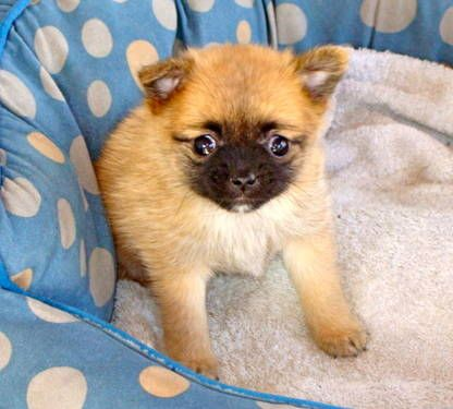 Dogs Puppies For Sale In Burlington Ebay Classifieds Kijiji Page 1 Puppies Brussels Griffon Dogs And Puppies