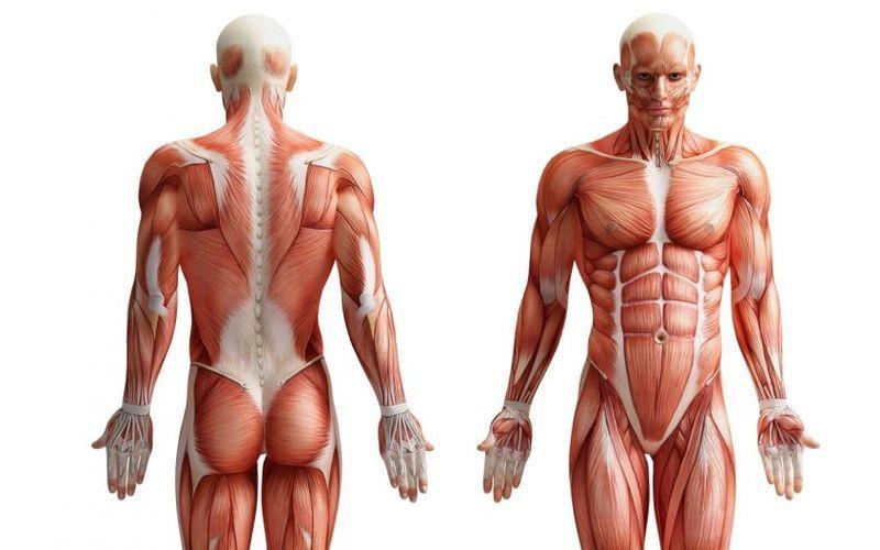 Анатомические картинки для стендов