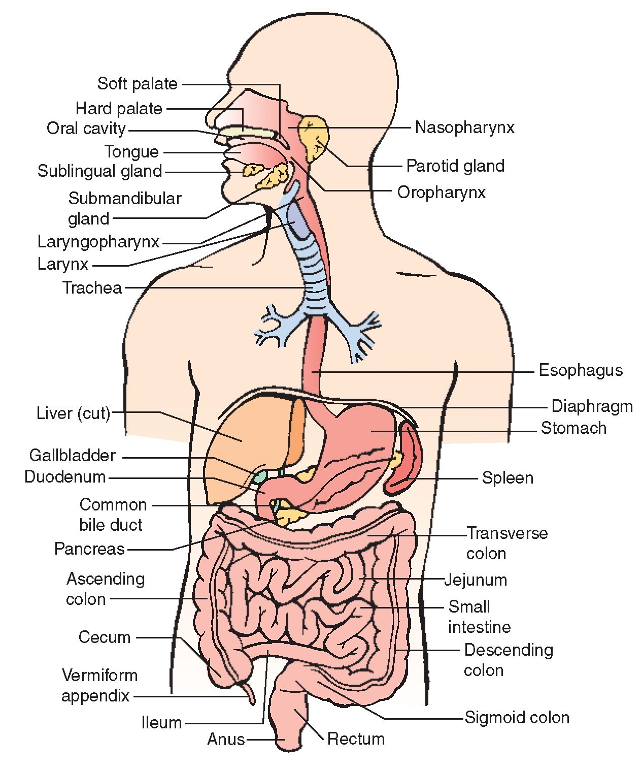 Hd Diagram Of Human Digestive And Respiratory Tract Human Body ...
