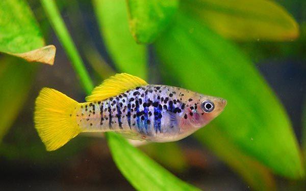Xiphophorus variatus fish freshwater aquarium - Poisson shark aquarium ...