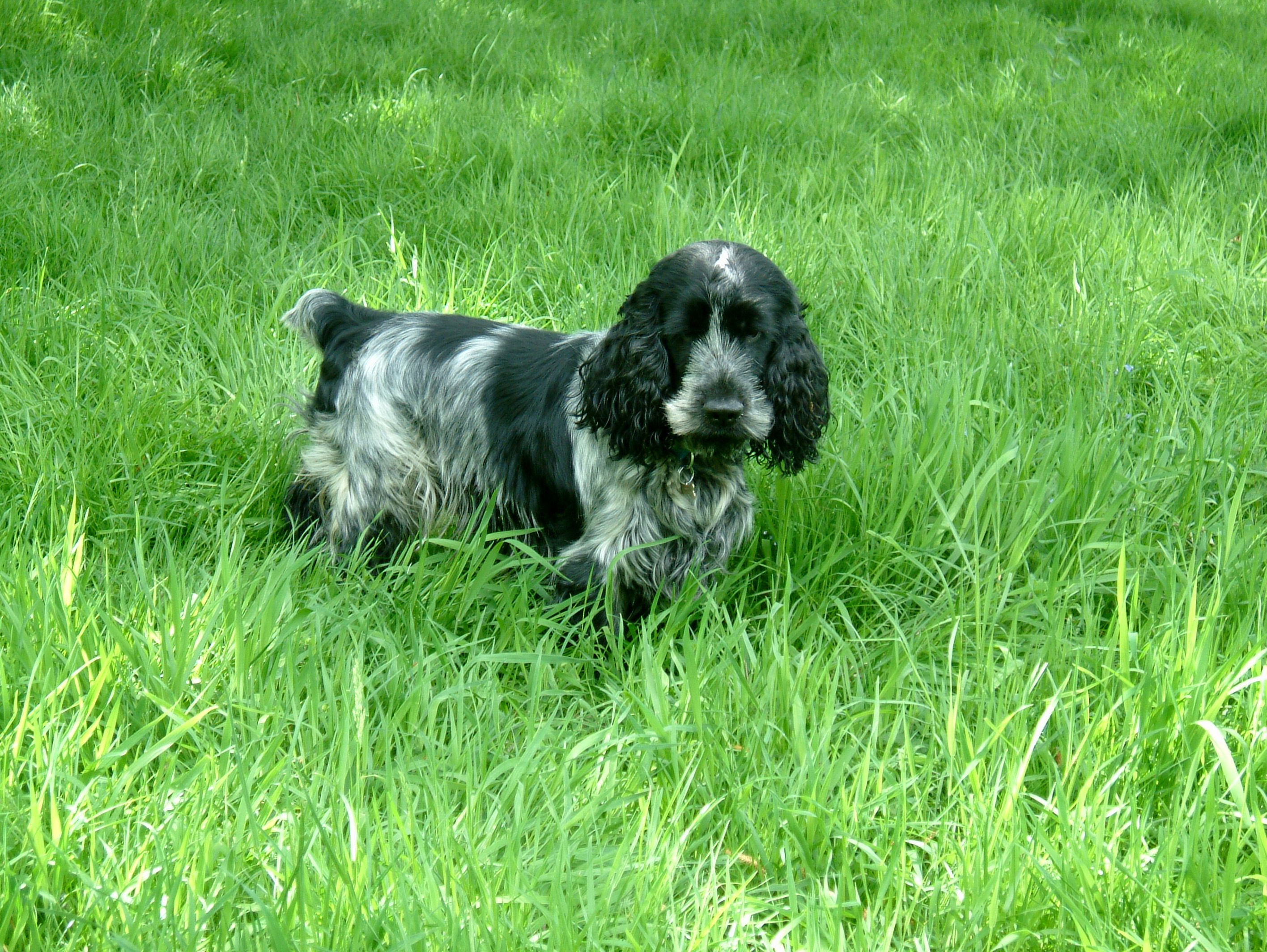 Image of italian spinone brown roan young puppy blue sitting cute - English Cocker Spaniel Blue Roan