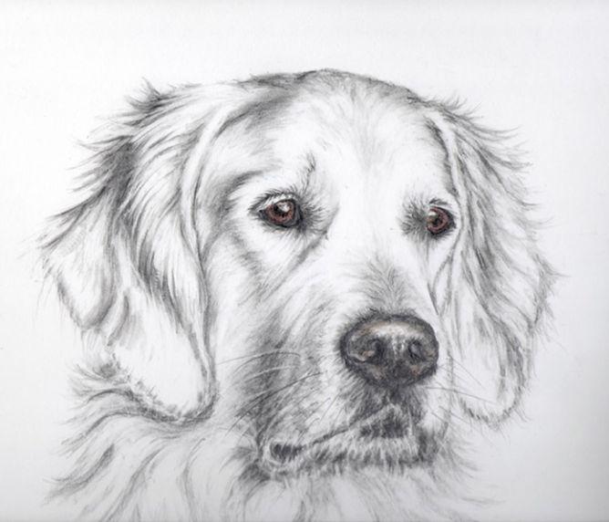 Dog Portrait Of Bruno A Golden Retriever Golden Retriever Drawing Dog Art Dog Paintings