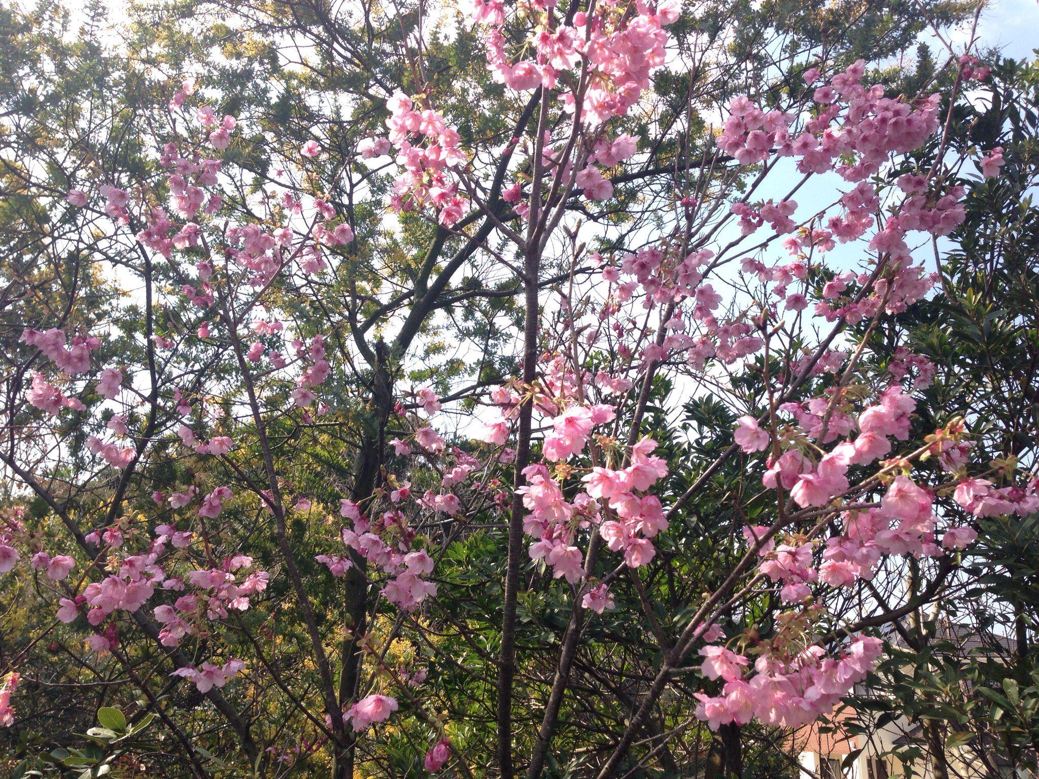 Hikan-Cherry blossoms