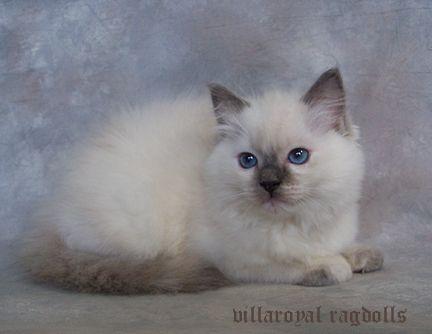 Ragdoll Kittens Villaroyal Precious Ragdoll Kitten Ragdoll Kittens