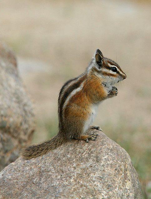 Chipmunk Chipmunks Animals Squirrel