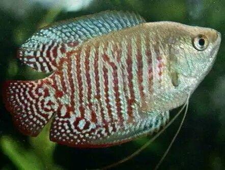 Guramy fish jewelry